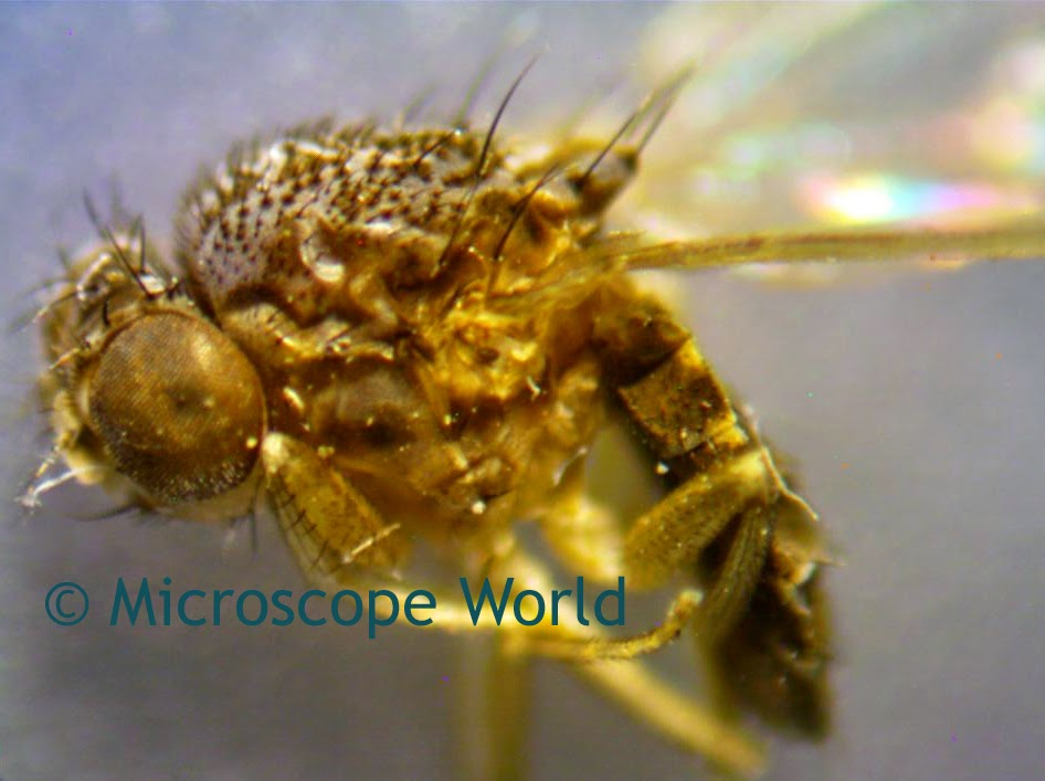 Insects under microscope.