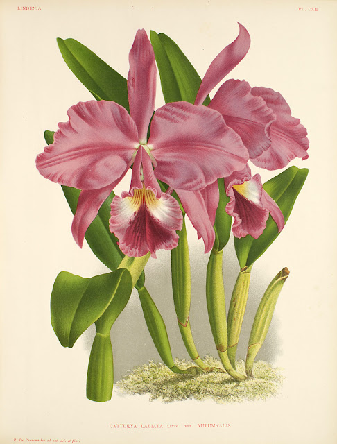 Orchids Cattleya Labiata Flower