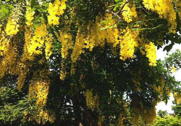 Gullregnsträd fullt av blomklasar.
