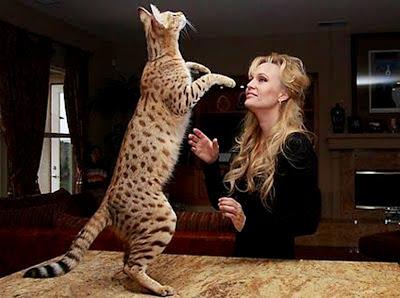 Mengenal kucing Ashera (Savannah F1)
