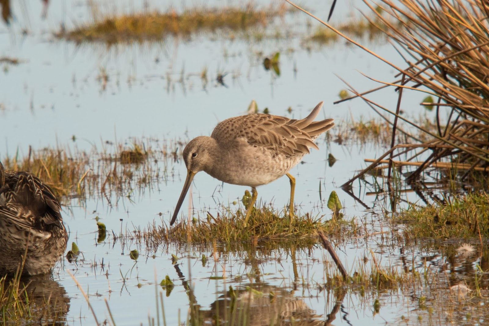 Long-billed Dowitcher, Pennington Marshes - Simon Colenutt