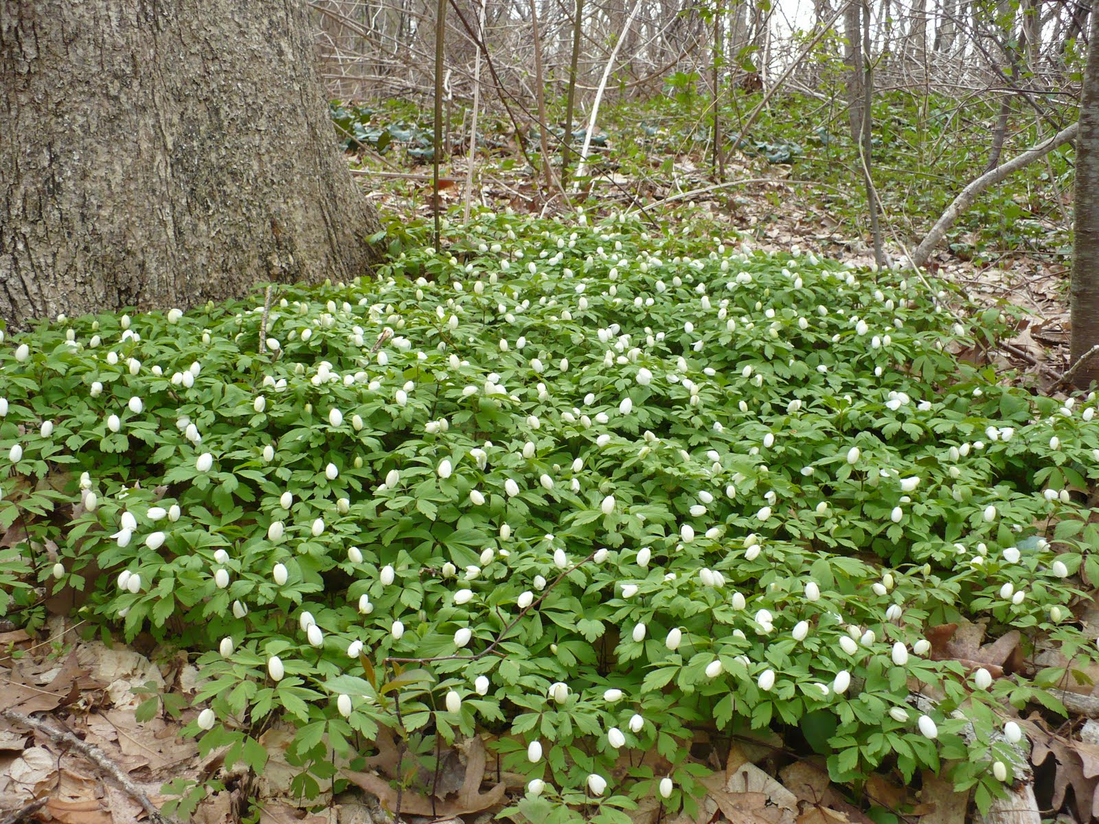 White Flower Ground Cover Plants