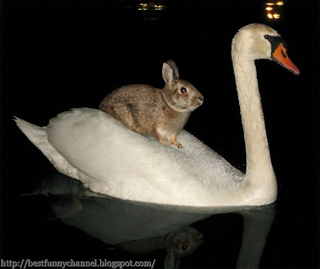 Swan transported hare