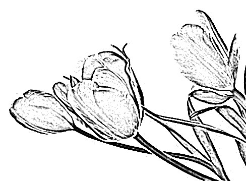 tulip flower sketch image sketch