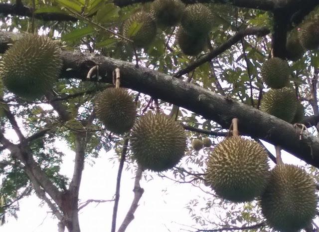 Cara Budidaya Tanaman Durian Supaya Menghasilkan Buah Yg Bagus