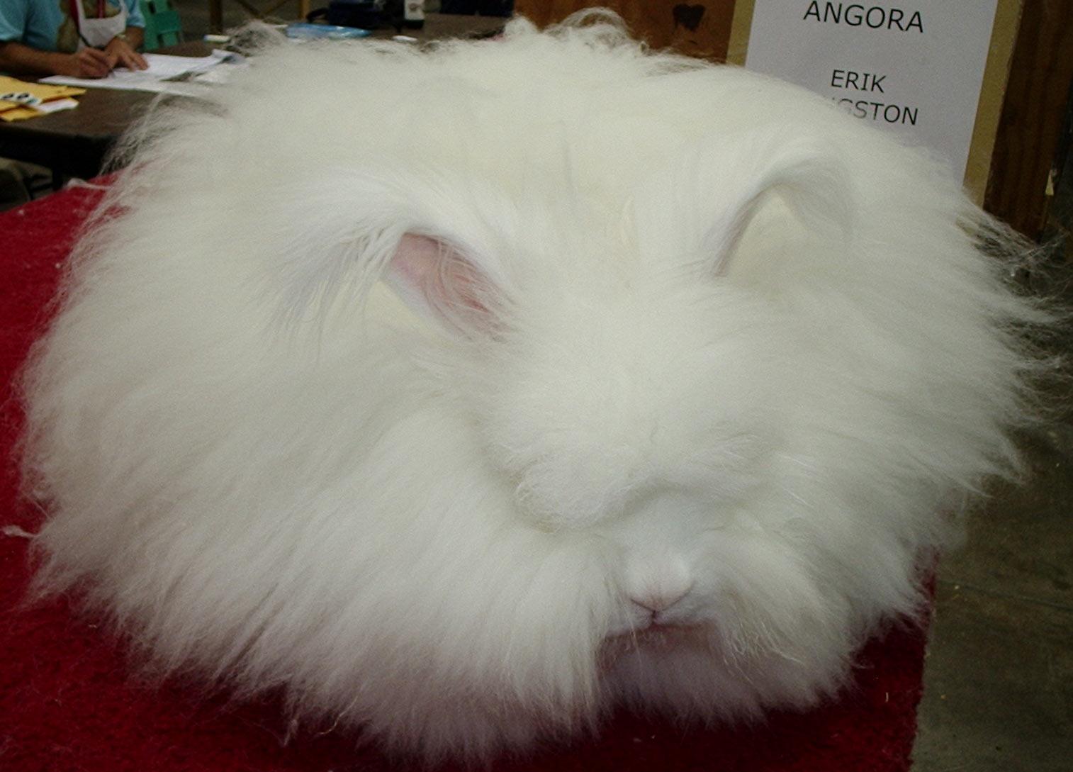 chinese angora rabbit - photo #18