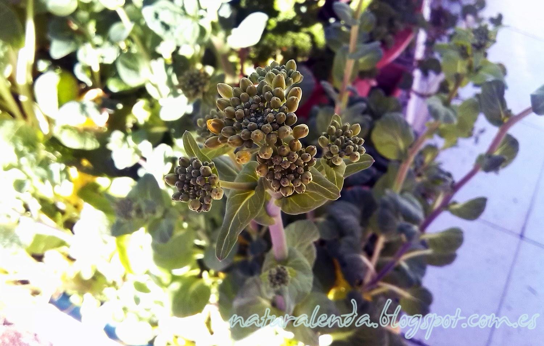 flor del tatsoi