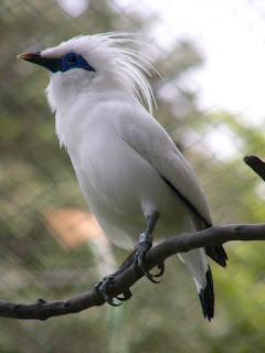 Tips Merawat Burung Jalak Bali Bagi Pemula Dan Agar Cepat Gacor