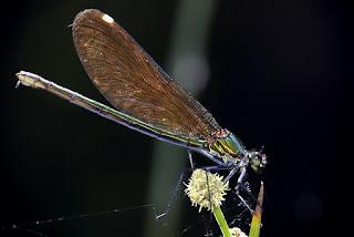 Para ampliar Calopteryx virgo (Linnaeus, 1758) Caballito del diablo hacer clic