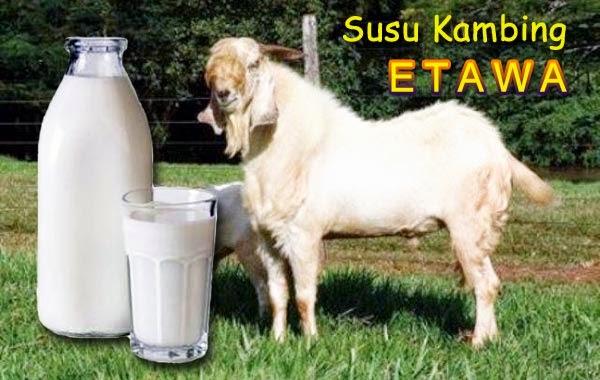 Produsen susu kambing etawa murah 2014
