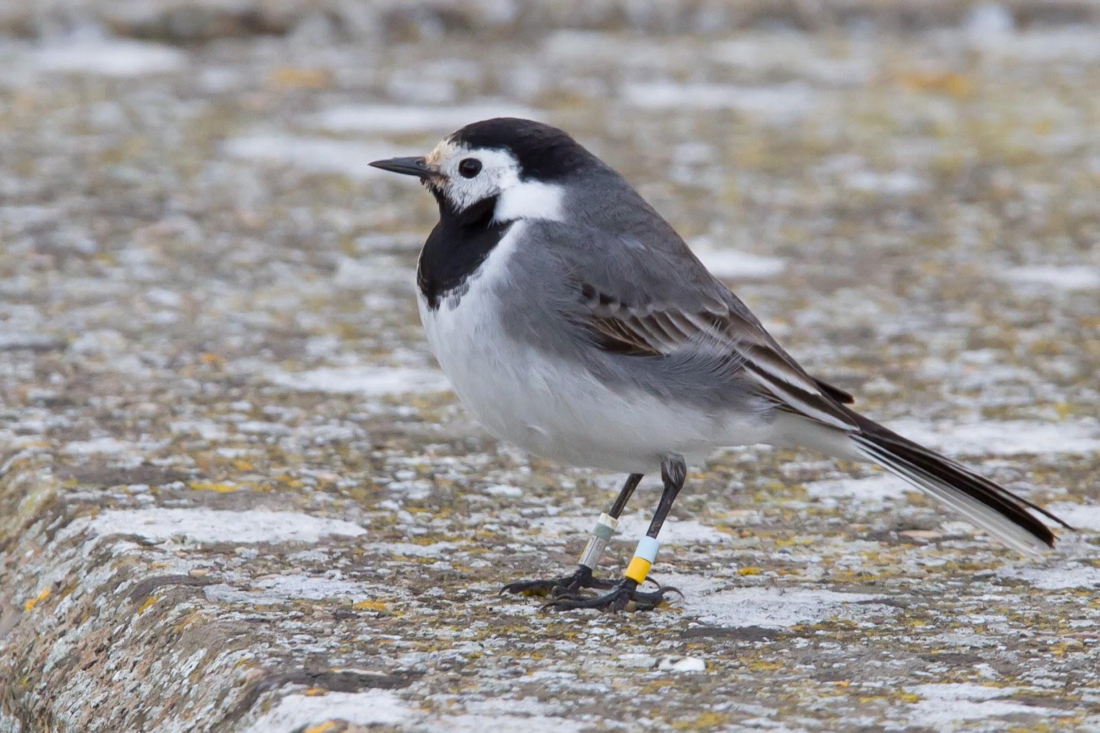oxon birding blog farmoor white wagtail farmoor white wagtail