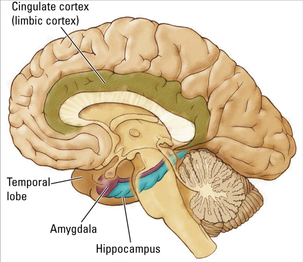 Life after being a student my mission to learn neurological diseases neurogenesis cells growing back is possible in adults although it is very limited the diagram below shows the brain in relation to the limbic system ccuart Gallery