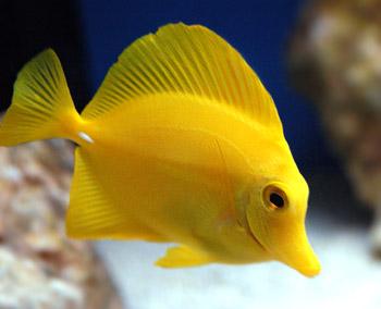 gina s fish tank yellow tang zebrasoma flavescens