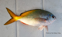 Redbelly Yellowtail   Fusilier