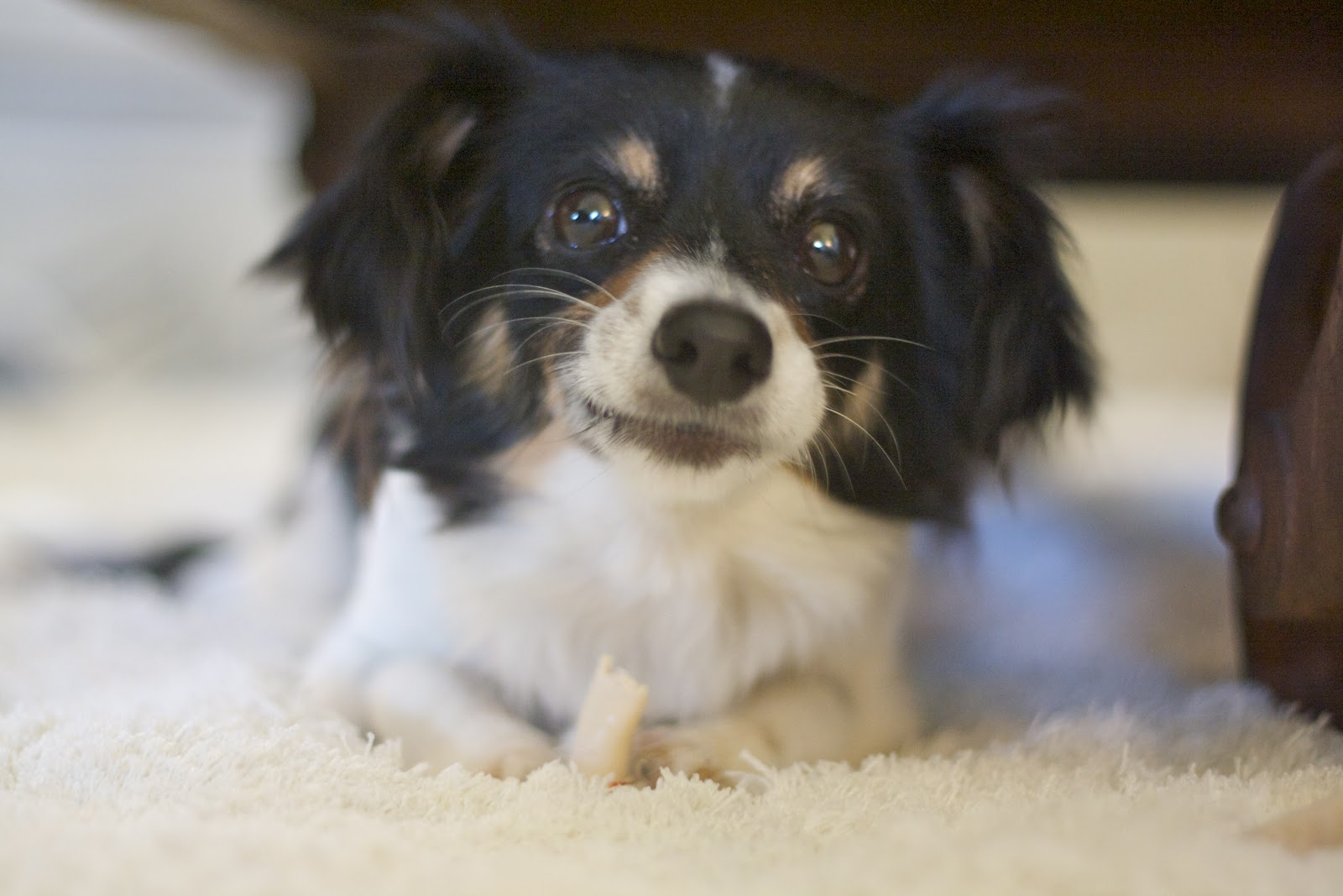 Papillon Dachshund Mix From the dachshund rescue