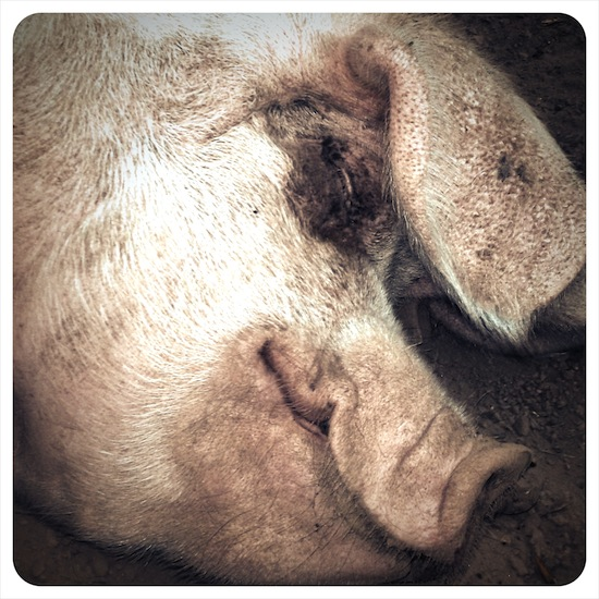 Sleeping Pig at Coombe Mill Cornwall