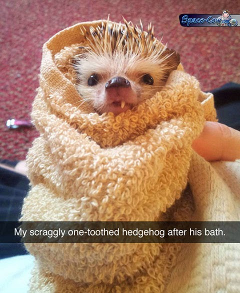 funny animals hedgehog picture