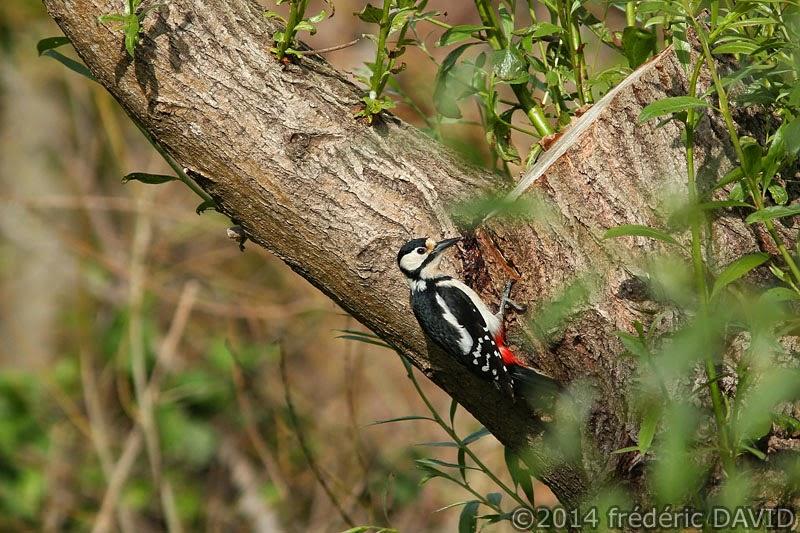 nature animaux oiseau pic-épeiche Sorques Seine-et-Marne