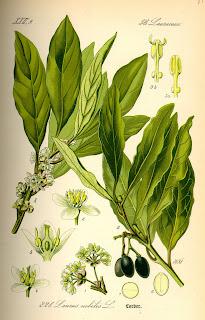 Louro, Laurus nobilis