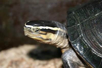 Reptil mania - Cuora amboinensis photos, reptiles pictures