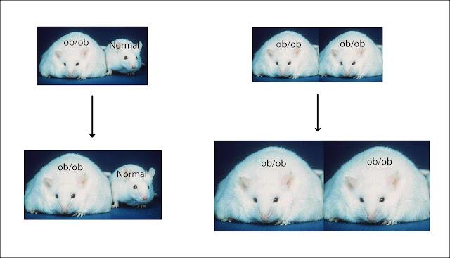 Ratones ob/ob deficientes en leptina