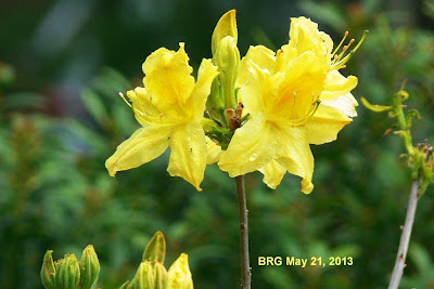 Uncommon Yellow rhodo coming into bloom at BRG late May 2013