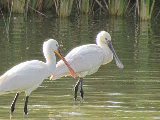 Oued Souss en de hele streek daar rondom heen kent een zeer groot vogelbestand, waarvoor de liefhebbers van heinde en ver - uit binnen- en buitenland - het National Park of Souss Massa komen bezoeken.