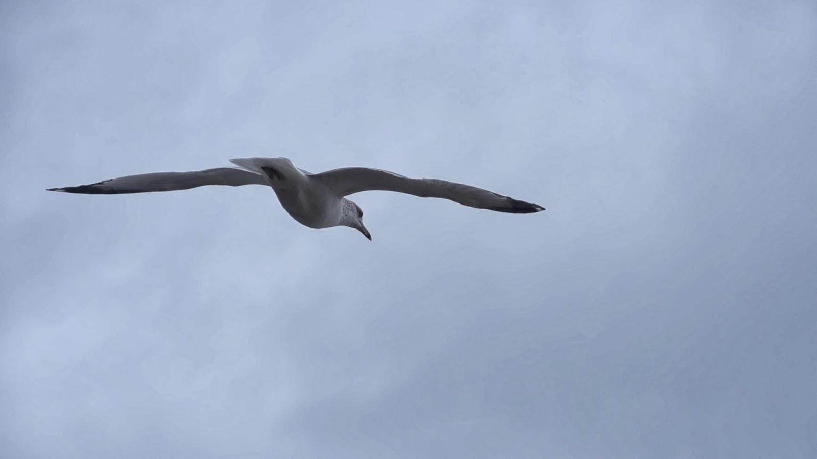 Seagull Flying Close