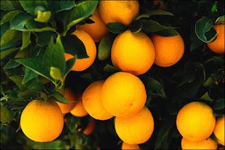 Teknik Budidaya jeruk Organik dengan NASA
