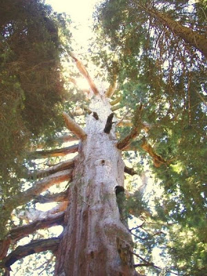 10 Pohon Terbesar di Dunia