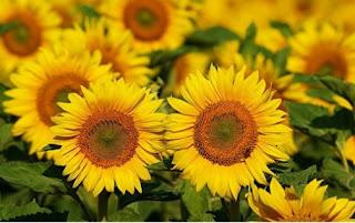 Bunga matahari (Helianthus annus)