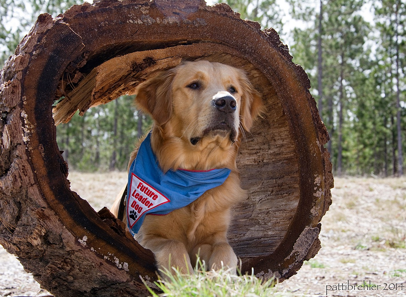 The golden retriever with the blue bandana is lying down inside a hollowed out section of a large tree trunk. He is looking out like he is ready to take on the world.