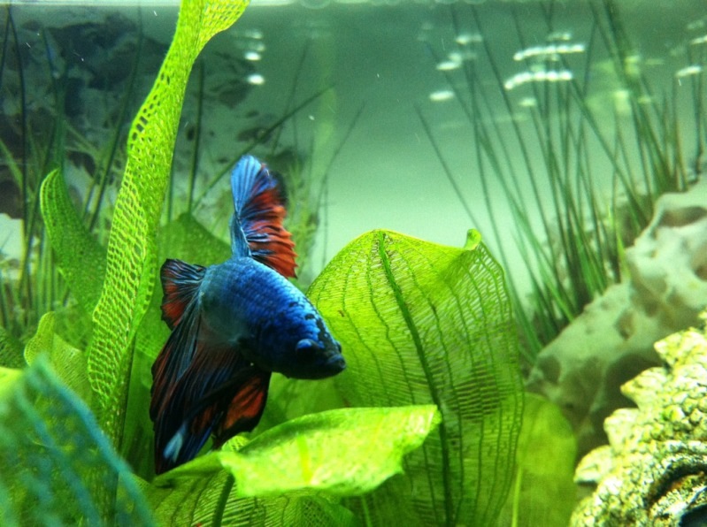Betta fish tank environment betta fish betta fish tanks for Koi fish environment