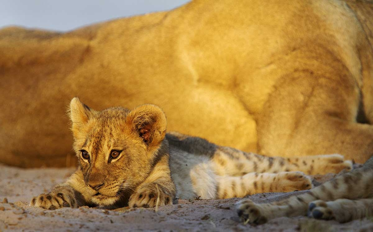 Facts about baby lion cubs in the wild and baby lion cubs in captivity