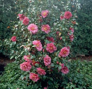 winter interest plant japanese camellia camellia. Black Bedroom Furniture Sets. Home Design Ideas