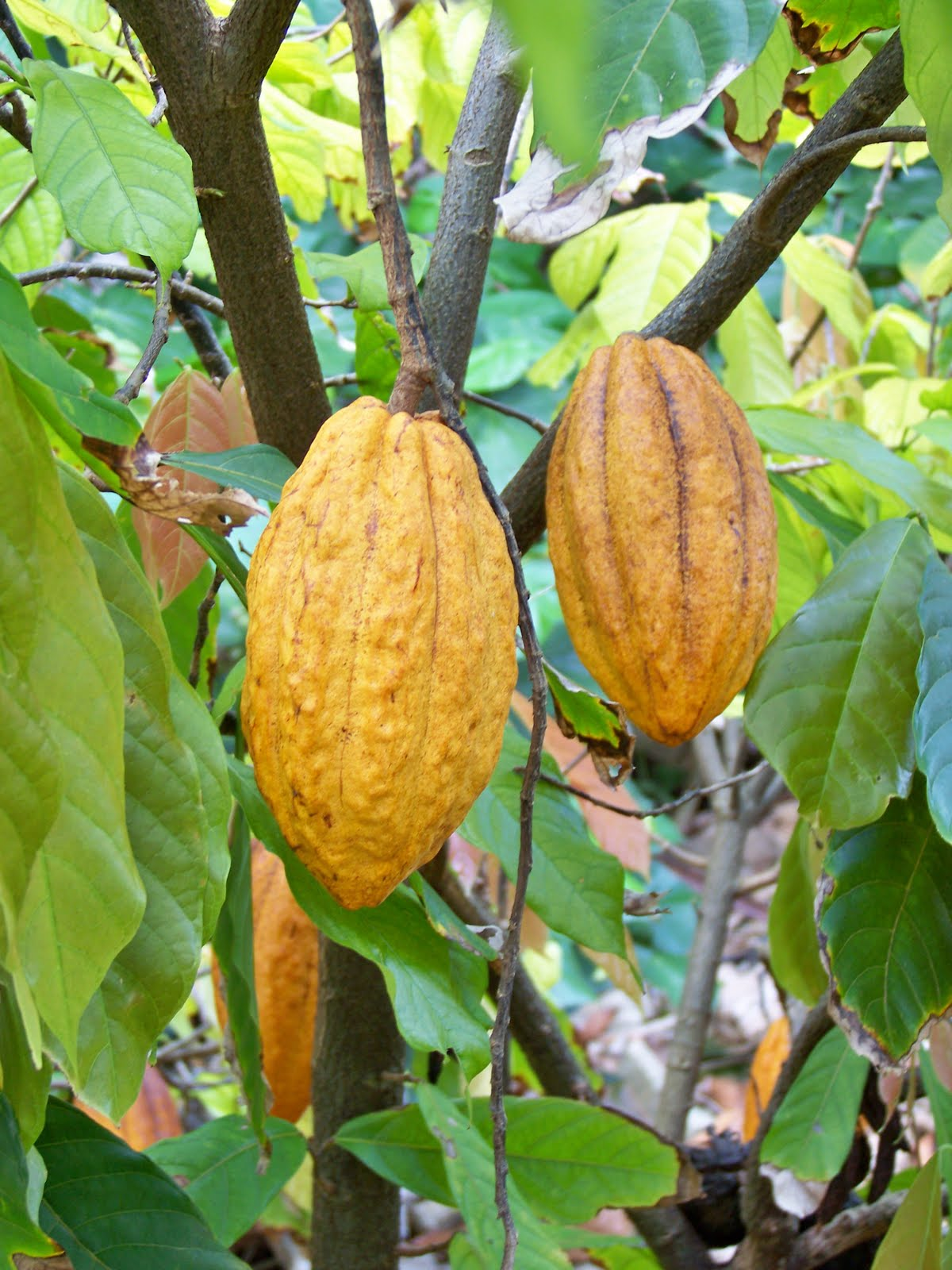 Cocoa or cacao