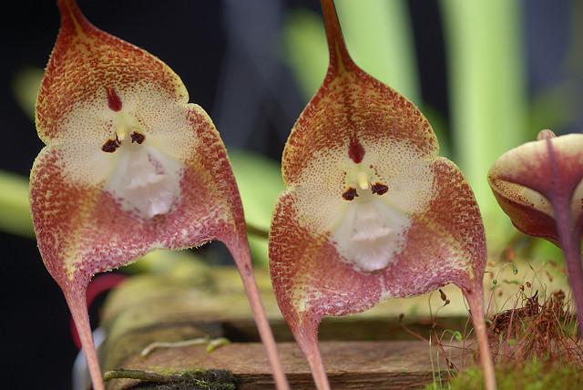 Orquídea Macaco tem cara de macaco