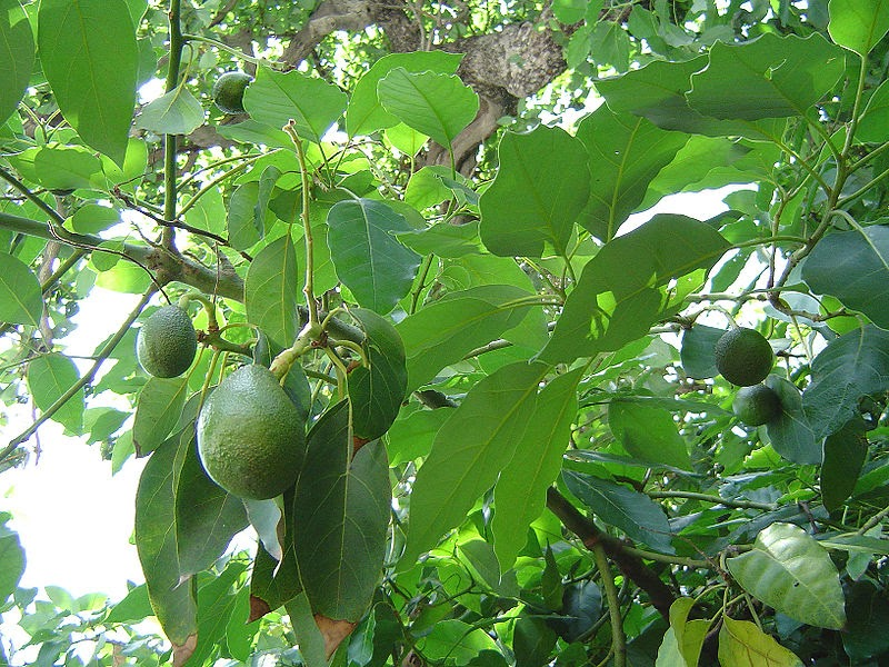 How to grow avocado from seed the garden of eaden for How do you grow an avocado seed