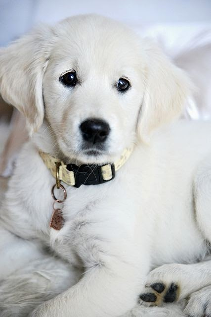 See more white Golden Retriever puppy http://cutepuppyanddog.blogspot.com/