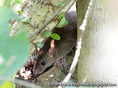 Rats (family Muridae)