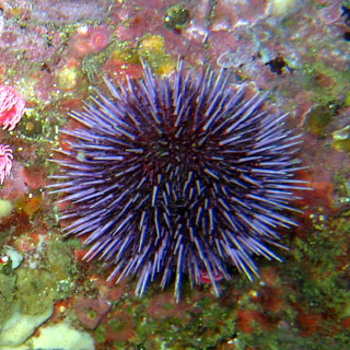external image sea_urchin.jpg