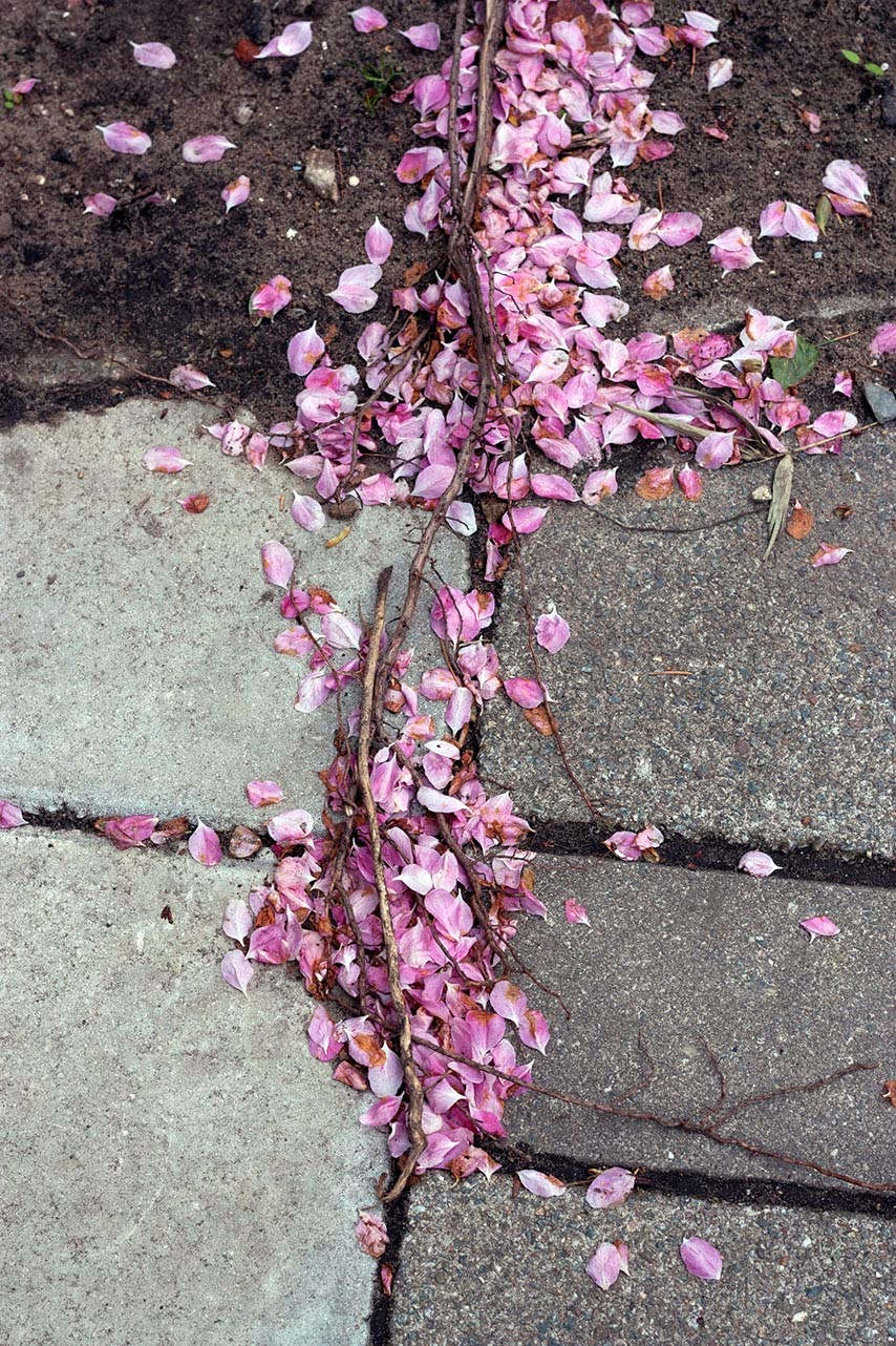 pink petals on the sidewalk