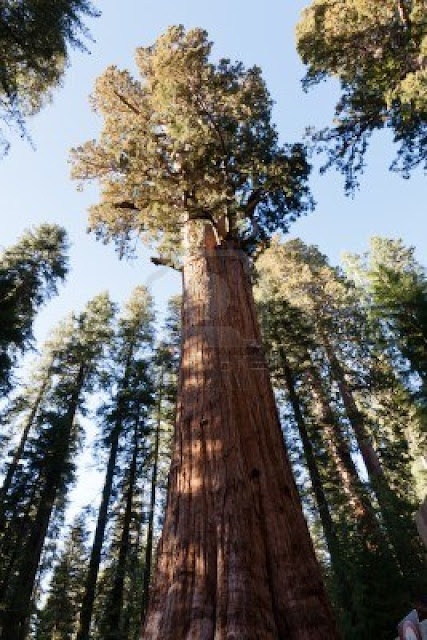 WORLD's BIGGEST TREE