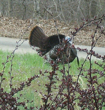 Turkey in the Hollow
