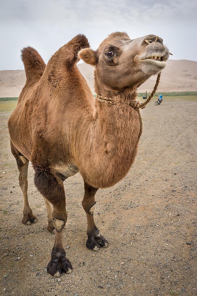 Wielbłąd/Baktarian na pustyni Gobi