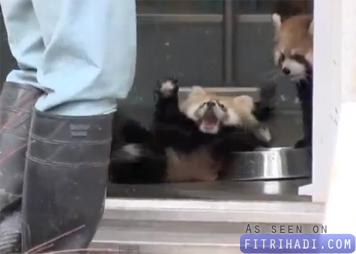 video anak panda merah terkejut tapi cute