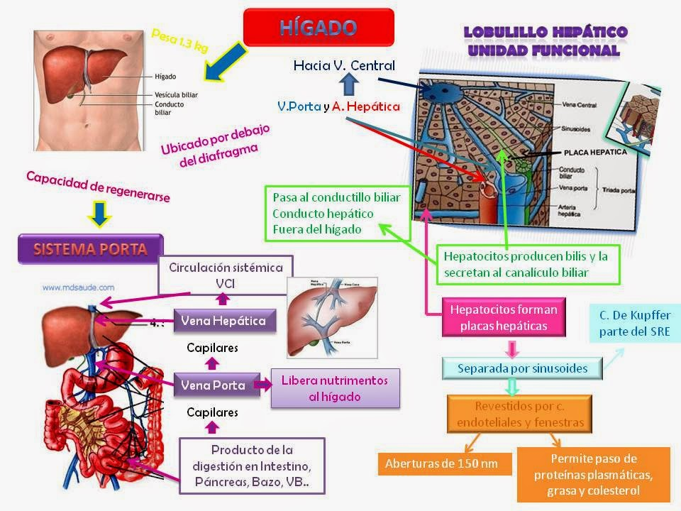 Blog de Fisiologia Médica de Brenda de Jesús Valdez Armenta