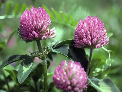 Flowers For Flower Lovers Red Clover Flowers Pictures