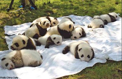 foto ursos pandas