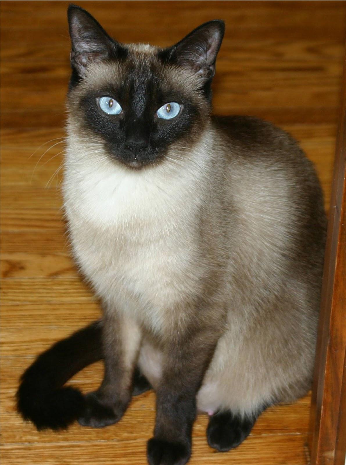 jenis kucing siam kucing siam kucing siam meskipun keturunan populerKucing Siam